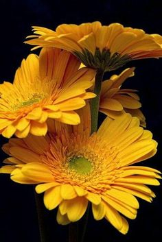 Gerbera Daisy ~ Flowers by tustin_shooter* Amazing Flowers, Pretty Flowers, Yellow Flowers, Colorful Flowers, Flowers Nature, Gerbera Flower, My Flower, Flower Bouquets, Bridal Bouquets