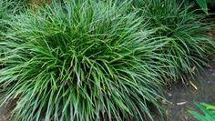 Afbeeldingsresultaat voor siergras carex morrowii irish green