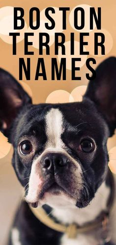 We've got hundreds of fresh, fun and unique Boston Terrier names to suit these little dogs whatever their color and character. Brindle Boston Terrier, Baby Boston Terriers, Boston Terrior, Boston Terrier Names, Boston Terrier Love, Baby Pugs, Baby Puppies, Cute Puppies, Cute Dogs