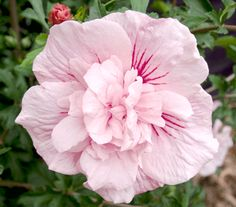 hibiscus syriacus pink chiffon ou althea rose double pink chiffon pot 3 litres 30/60cm - JARDIPLANTE