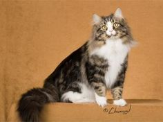 Gorgeous ... and non-allergic fur! Russian Siberian, long waiting list for kitties in the USA