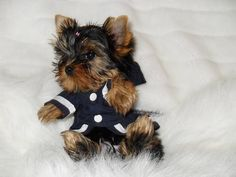 (Adorable tiny yorkie )