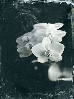 """Winter Flowers Series Wet Plate Collodion on Clear Glass, 18x24 cm February 2012 © Ana Tornel """""""
