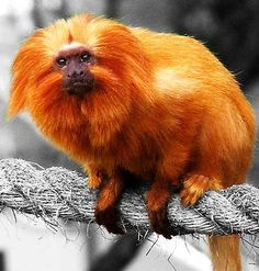 Golden Lion Tamarin - The Lion Monkey
