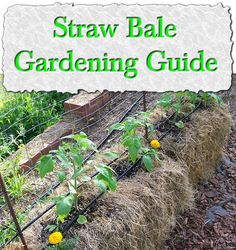 1000 Images About Straw Bale Gardening On Pinterest Straw Bales Straw Bale Gardening And Straws