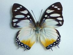 Charaxes Butterfly (Lydiae Nymphaliidae Male Species, Cameroon Insect…