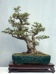 Chinese Penjing gallery - Bonsai Empire