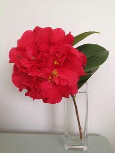 The biggest red camellia I've ever seen My Flower, Flowers, Camellia, Glass Vase, Formal, Garden, Red, Home Decor, Preppy