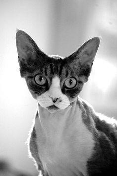 Devon Rex Cat History Click the picture to read