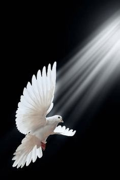 Symbol-The sacrament of confirmation includes receiving the Holy Spirit. The Holy Spirit is there to help us with his gifts of grace, courage, and love. We aim to have a deeper relationship with the Holy Spirit and Christ. Saint Esprit, Prophetic Art, White Doves, Christian Art, Belle Photo, Beautiful Birds, Beautiful Gardens, Beautiful Things, Pet Birds