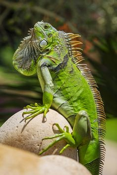 """Iguana is a genus of herbivorous lizards native to tropical areas of Mexico, Central America, several islands in Polynesia such as Fiji and Tonga, and the Caribbean."""
