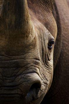 Black Rhino by Adam McGrath on critically endangered Beautiful Creatures, Animals Beautiful, Cute Animals, Wildlife Photography, Animal Photography, Photography Tips, Regard Animal, Safari Photo, Save The Rhino