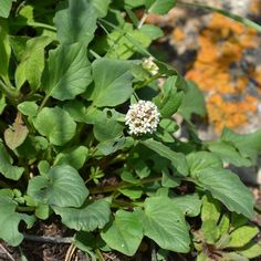 Valeriana ficariifolia Boiss. Seeds For Sale, Plants, Flora, Plant