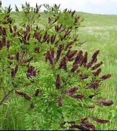 False Indigo Bush (Amorpha fruticosa)-Externally, applications of leaf poultice or a paste of indigo and warm water is used for burns, scalds, wounds, insect bites, animal bites, boils.