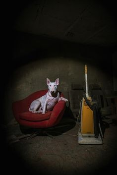 Bull Terrier photo 'Divas don't Clean' by Alice van Kempen, series 'My Urbex Adventures with Claire'