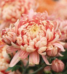 Home Flowers, Winter Flowers, All Flowers, Types Of Flowers, Beautiful Flowers, Fresh Flowers, Garden Plants, Indoor Plants, Crysanthemum