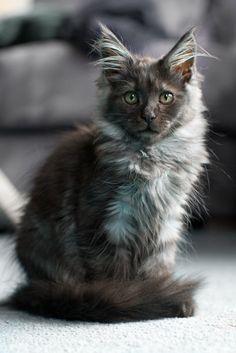 27 dec 2011: 3 maand oud. Maine Coon Maine Coon, Pet Birds, Cats, Animals, Gatos, Animales, Animaux, Animal, Cat