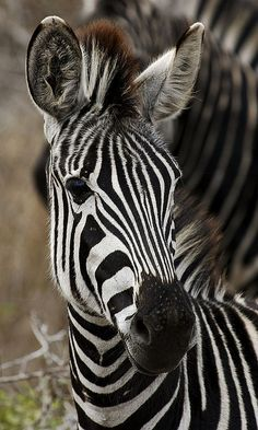 the Zebra's background color is black and the white stripes and bellies are additions. Each striping pattern is unique to each individual Zebra.