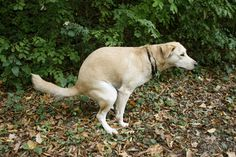 Who would have thunk it? Dogs Poop Along North-South Magnetic Lines. The findings, in Zoology, join a long list of research showing that animals, wild/domesticated, can sense the Earth's geomagnetic field and coordinate their behavior with it. A 2008 analysis of satellite images revealed that cattle worldwide tend to stand in the north-south direction of Earth's magnetic lines when grazing, regardless of wind direction or time of day, as do two species of deer.