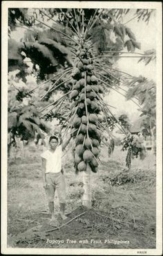 A papaya tree in the Philippines. 1940