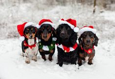 """Merry Doxies From your friends at phoenix dog in home dog training""""k9katelynn"""" see more about Scottsdale dog training at k9katelynn.com! Pinterest with over 18,000 followers! Google plus with over 119,000 views! You tube with over 350 videos and 50,000 views!!1900 plus on Twitter!!"""