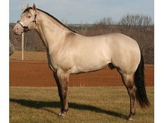Grulla Champagne. He has been color tested and his genotype is Ee aa Dd Chch.
