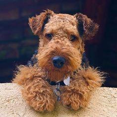 Airedale Terrier Dog Breed Information, Popular Pictures - Sweet Terrier - Hunde Airedale Terrier, Welsh Terrier, Pitbull Terrier, Perro Fox Terrier, Yorky Terrier, Terrier Dog Breeds, Fox Terriers, Wire Fox Terrier, Terrier Puppies