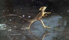 Lagartija basilisco o jesucristo, escapa de los depredadores corriendo por encima del agua a 5.4 km/hr. Un ser humano tendria que correr a 100km/hr para igualarla