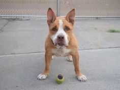 SAFE ♡ STORM – A1085296  SPAYED FEMALE, TAN / WHITE, AMERICAN STAFF MIX, 9 yrs…