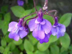 "Streptocarpus saxorum 'Strybing' ""False African Violet"""