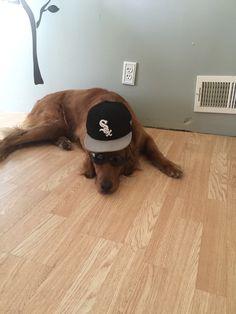 My Golden Retriever Miklo, #White Sox Fan