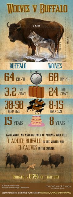 The Buffalo Wolves: Infographic: Wolves vs Buffalo - The Nature of Things: Science, Wildlife and Technology - CBC-TV