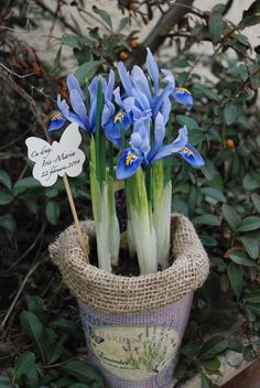 flower wedding favors, plant favors, plant gift, bulbs, spring bulbs, iris pot# plante marturii, flori marturii nunta, flori marturii botez, ghivece marturii botez, iris in ghiveci, marrturii iris