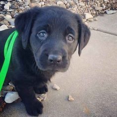 And there's really nothing more adorable than a Lab puppy…