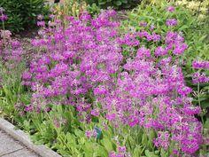 Primula bulleyana ssp beesiana