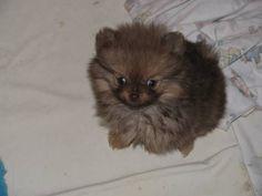 Rescued Pomeranians for Adoption Teddy Bear Orange