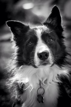 Border collie- Such a beautiful happy face <3