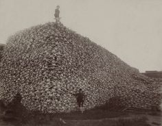 wonder what happened to the american bison?