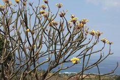 Plumeria Tree Hawaii