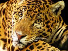 Papel de Parede Grátis - Leopard: http://wallpapic-br.com/animais/leopard/wallpaper-32145