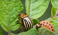 Beetle, Colorado, Plant Leaves, Potatoes, Stock Photos, Plants, Animals, Gardening, Image
