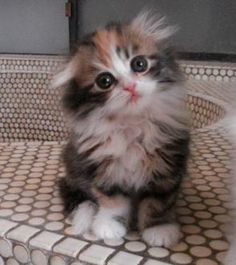 who can resist a feathery calico kitten