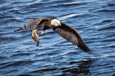 This is a photo of a bald eagle. We run bald eagle workshops at the end of every year during the migration during the salmon run in British Columbia. To learn more about these workshops, please visit, http://northof49photography.com/photo-workshops/