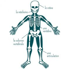 Sous votre peau se cache les os. Tous réunis, ils forment le squelette. En fait, c'est un genre de porte manteau à la base de votre corps. Il vous permet de vous maintenir debout mais aussi de bouger. Nous possédons 206 os qui soutiennent et protègent nos organes vitaux (comme le cœur, les poumons, etc). C'est le squelette qui nous permet de nous tenir droit ! L'os le plus grand du corps humain est le fémur (os de la cuisse) et le plus petit l'étrier (os de l'oreille). Environ la moitié de no... Up Book, About Me Blog, Childhood, Science, This Or That Questions, History, Genre, Recherche Google, Human Body