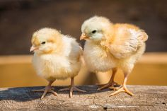 What Do Baby Chickens Eat