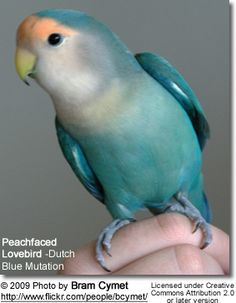This LB looks EXACTLY like my baby Imiss. I miss Imiss so much! She died in my hands and was buried in the Laguna Beach sand. :') Dutch Blue Lovebird