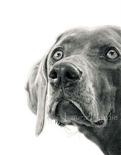 Weimaraner graphite drawing - by Laura Hardie Sketching Animals is a great technique to learn Cool Pencil Drawings, Amazing Drawings, Realistic Drawings, Animal Drawings, Art Drawings, Pencil Art, Dog Pencil Drawing, Pencil Sketching, Drawing Faces
