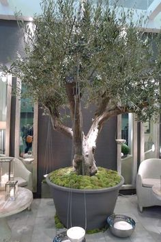potted olive tree I'll take one please!
