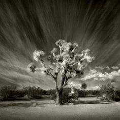 This skyline for Joshua tree and desert background
