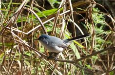 Blue-gray Gnatcatcher in South Carolina